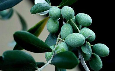 Olives marinades la Gaeta