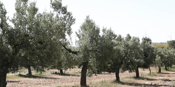 Campos de Olivos Propios la Gaeta